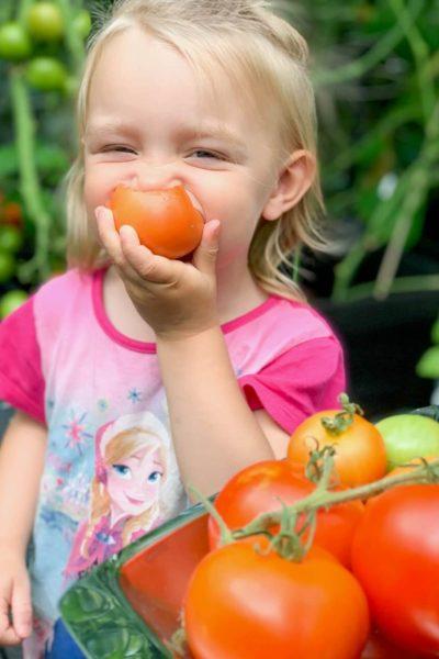 tomaatin kasvatus kasvihuoneessa